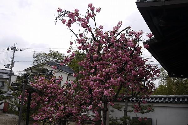 16花が咲き残る.jpg