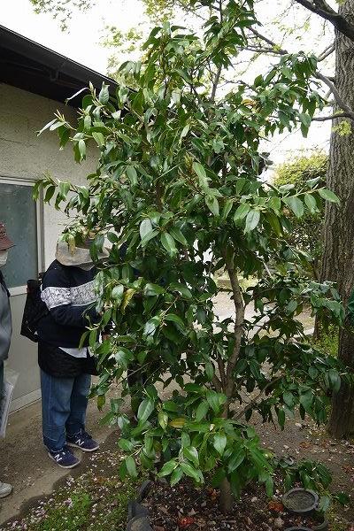 17.椿の木ですが.jpg