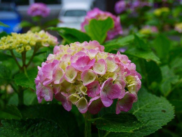 23.紫陽花(3).jpg