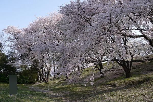 28.1週間前の満開の桜(1).jpg