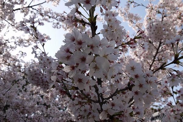 29.1週間前の満開の桜(2).jpg