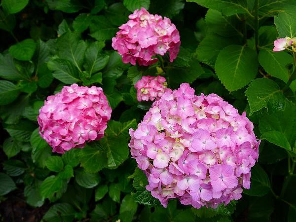 4.紫陽花(2).jpg