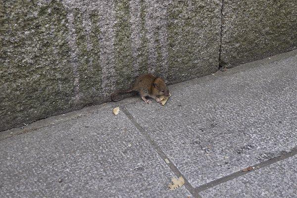 43.ポテチを喰うネズミ.jpg