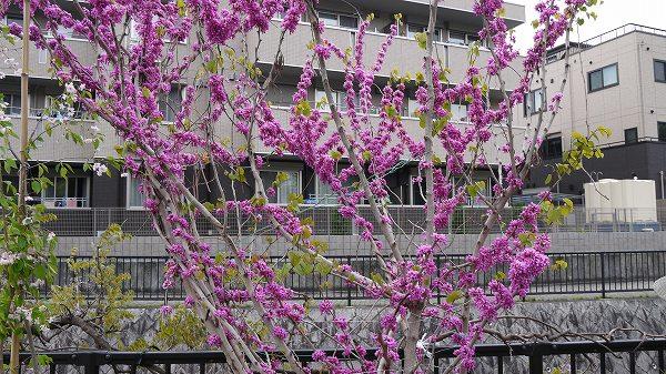 49.きれいな花の木.jpg