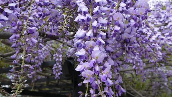 72.藤の花.jpg