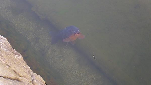 8.大きな鯉は口パク.jpg